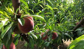 Afruex asumir salario fijado por el laudo pero puede la fruta desaparezca en Extremadura