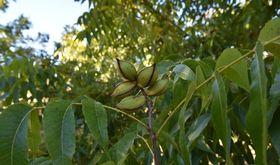 UPAUCE traslada a la Junta la grave situacin que sufren los fruticultores extremeos