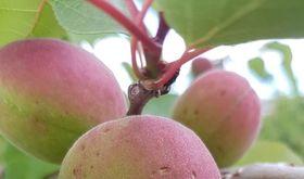 Agroseguro abonar 9 millones a Extremadura en indemnizaciones para siniestros en fruta