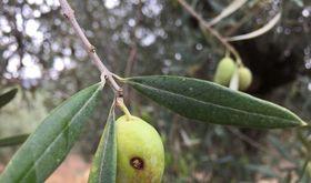 La Consejera de Agricultura colabora en control de mosca del olivo en VilluercasIbores
