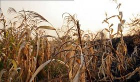 UPAUCE Extremadura estima que la grave sequa ha provocado prdidas  de 336 millones