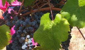 Ayudas a proyectos en Extremadura para promocin vino pueden pedirse hasta mediados de mes