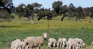 Una ganadería de Montemolín es calificada contra la tuberculosis