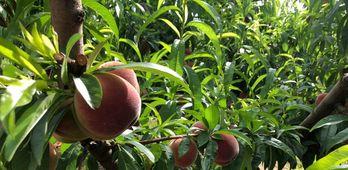 Los fruticultores extremeos esperan una solucin negociada al conflicto del campo