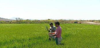 Cooperativas Extremadura estima una produccin de arroz de 151915 toneladas