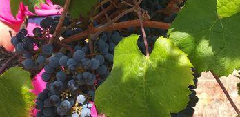 La Unin el  acuerdo de precios provocar 324 millones de prdidas para viticultores
