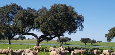 Junta abona 258 millones de euros en ayudas al ovino y caprino  para 6508 perceptores