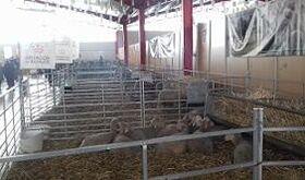 Diputacin de Badajoz subasta 32 animales en la XX Feria Artesanal Ganadera de La Coronada