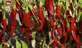 UPAUCEreclama una subida de precios y contratos trianuales para productores de pimentn