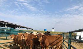 El censo bovino ha crecido en ms de 100000 cabezas durante los ltimos cuatro aos