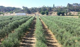 Un vdeo recoge el ensayo de variedades de olivar en seto desarrollado en Finca La Orden