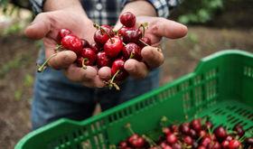 La Unin alerta El 95 de produccin de cereza del norte de Cceres est sin asegurar