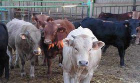 Convocatoria de ayudas a la repoblacin en explotaciones de ganado bovino ovino y caprino