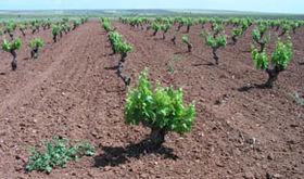 Extremadura recibe 25 millones adicionales para para la reestructuracin del viedo