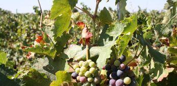 APAG Extremadura ASAJA prev un aumento del 20 en la produccin de la uva este ao