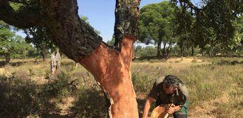 El grupo Go Suber modernizar la extraccin de corcho