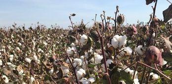La Unin insta a Junta favorecer implantacin de nuevos cultivos como algodn o remolacha