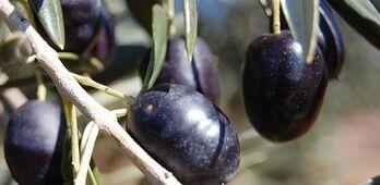 UPAUCE exige actuacin contundente de UE ante nueva subida de aranceles a la aceituna