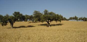 APAG Extremadura Asaja pide medidas efectivas contra merma en produccin del cereal