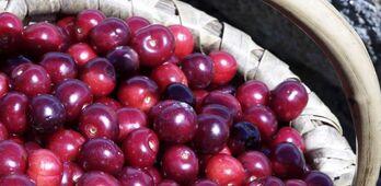 Junta espera que para noviembre se apruebe nuevo mdulo de seguro agrario para las cerezas