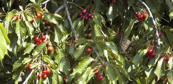 UPALa mediocre campaa de cerezas se podra haber evitado