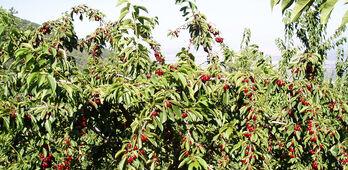 Cooperativas Extremadura pide ampliacin de plazos en seguros de frutales y cerezas