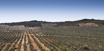 Garca Bernal reitera que el olivar y la via son claves para empleo