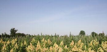 Cicytex organiza una visita para agricultores a los ensayos de campo de cultivos extensivos