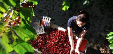 Unin de Extremadura exige a la Junta que tome medidas para ayudar a productores cerezas