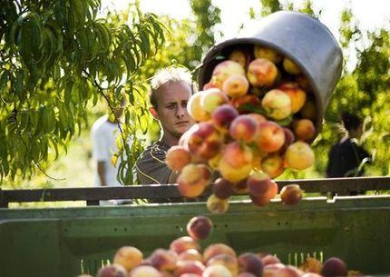 La Unin Cultivadores extremeos pagarn 15 millones por interprofesional fruta hueso