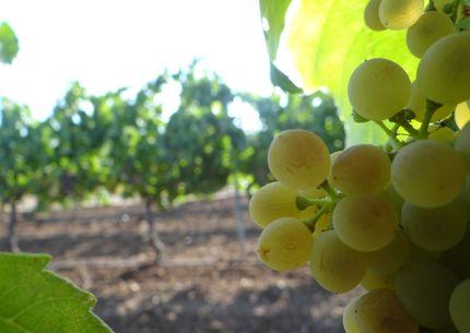 Plazo para asegurar la uva de vino frente al riesgo de pedrisco finaliza el 30 de abril