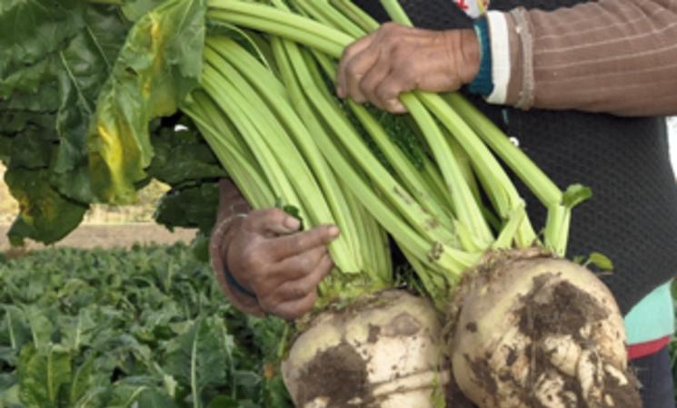 Mérida podría contar con una fábrica de azúcar de remolacha